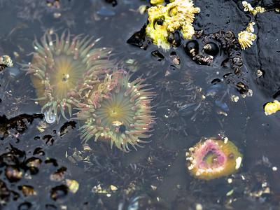 Giant Green Anemones, Tongue Point tide pools, Salt Creek Recreation Area