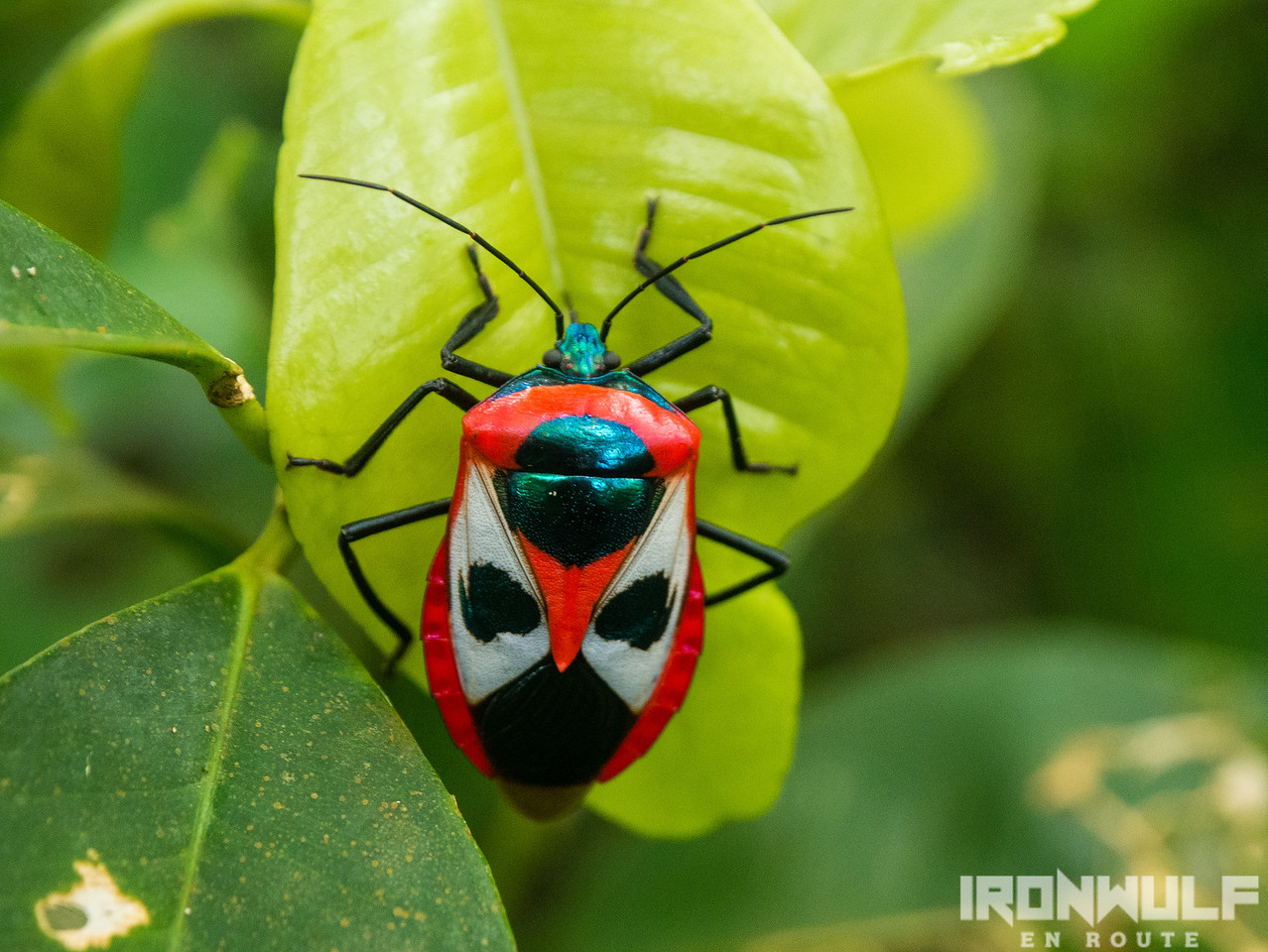 A shield bug on the trail