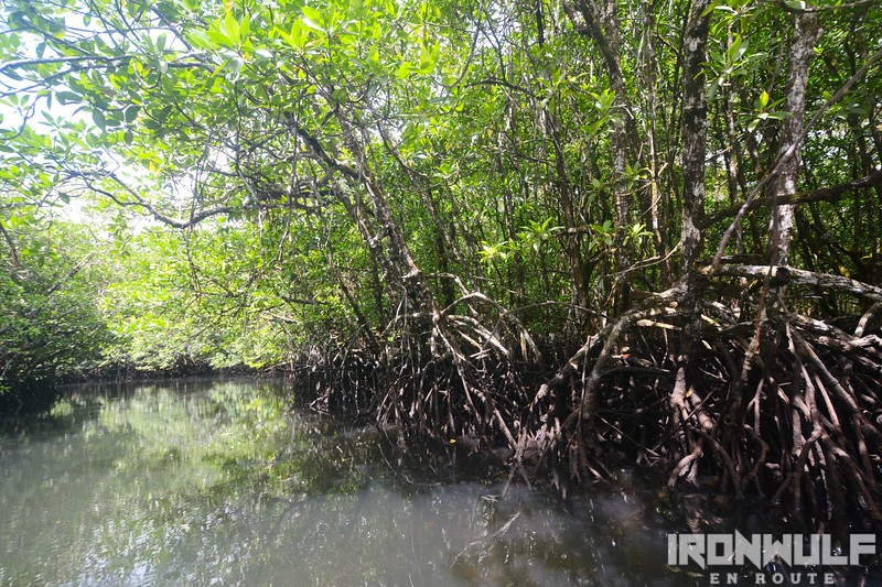 Primary mangrove growth