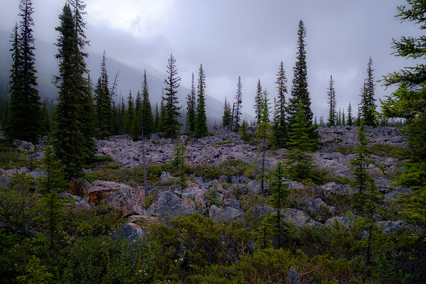 Cool evening rain as trees grow from a rockslide debris field along the Icefields Parkway.