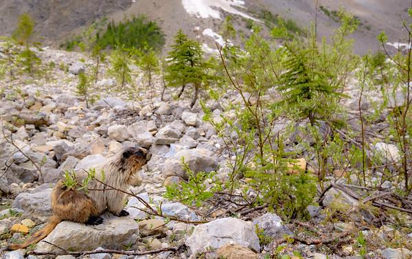 Friendly Marmot at Emerald Basin