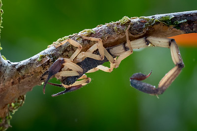 Bark scorpion - Costa Rica.