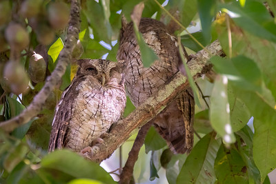 Tropical screech owl - Costa Rica.