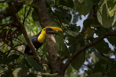 Yellow-throated toucan -  Crocodile Bay Resort, Costa Rica.