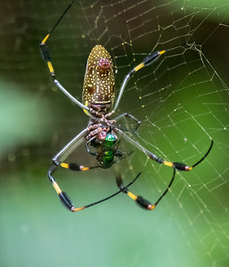 Golden-orb spider female, with (smaller) male - Costa Rica.