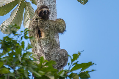 Brown-throated three-toed sloth (male) - Costa Rica.
