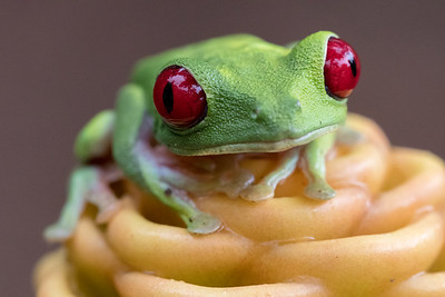 Red-eye tree frog - Costa Rica.