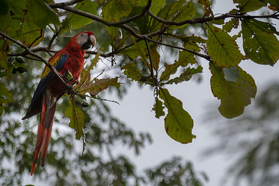 Scarlet macaw feeding on sea almonds - Costa Rica.