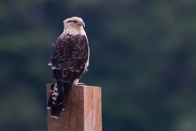 Yellow-headed caracara - Costa Rica.