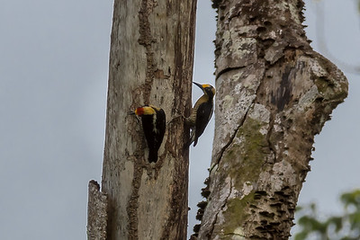 Golden-naped woodpecker - Crocodile Bay Resort, Costa Rica.