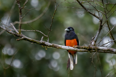 Baird's trogon (male) - Costa Rica.
