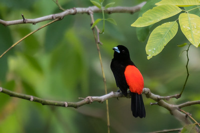 Cherrie's tanager - Costa Rica.