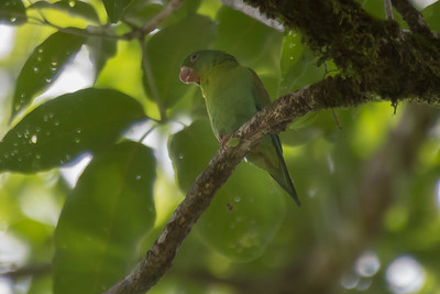 Orange-chinned parakeet - Costa Rica.