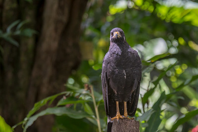 Common black hawk - Costa Rica.