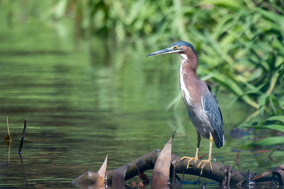 Green heron along the Rio Sierpe - Costa Rica.