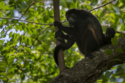 Mantled howler monkey - Costa Rica.