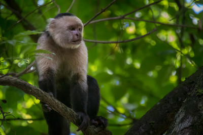 White-headed capuchin monkey - Costa Rica.