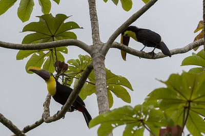 Two toucans in a tree.  Yellow-throated toucan -  Crocodile Bay Resort, Costa Rica.