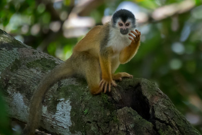 Central American squirrel monkey, drinking from a puddle in the knot of a tree branch - Costa Rica.