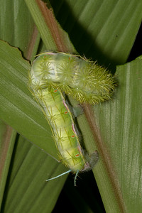 Stinging caterpillar at Crocodile Bay Resort - Costa Rica.