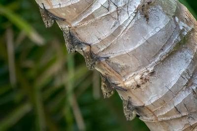 Long-nosed bats, sleeping along the Rio Sierpe - Costa Rica.