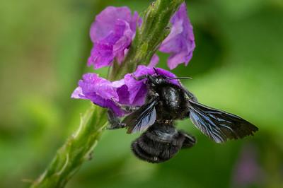 Black bumblebee on flower - Costa Rica.