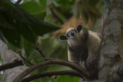 Northern tamandua anteater - Costa Rica.