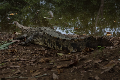 American Crocodile at Crocodile Bay Resort - Costa Rica.