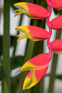 Heliconia rostrata (aka lobster-claw heliconia) at Crocodile Bay Resort - Costa Rica.