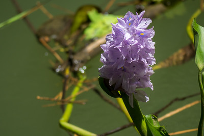 Water hyacinth blossom along the Rio Sierpe - Costa Rica.