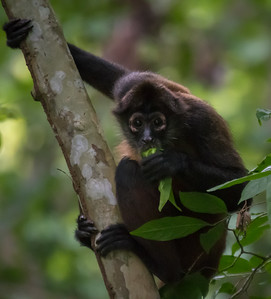 Black-handed spider monkey - Costa Rica.