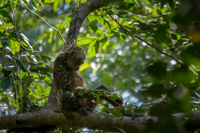 Black-handed spider monkey, covered in burrs - very sad. Costa Rica.