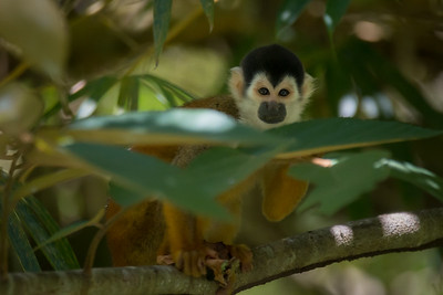 Squirrel monkey, eating a caterpillar - see his right hand - along the Rio Sierpe, Costa Rica.