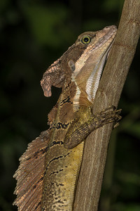 Brown baselisk lizard at Crocodile Bay Resort - Costa Rica.