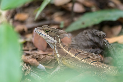 Brown baselisk lizard at Crocodile Bay Resort - Costa Rica.