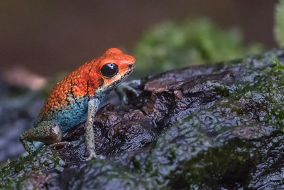 Granular poison frog - Costa Rica.