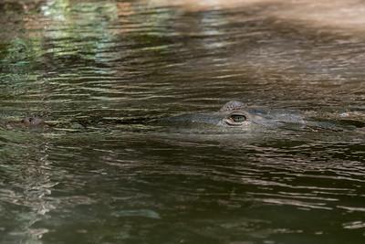 American Crocodile along the Rio Sierpe - Costa Rica.
