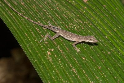 Slender anole lizard at Crocodile Bay Resort - Costa Rica.