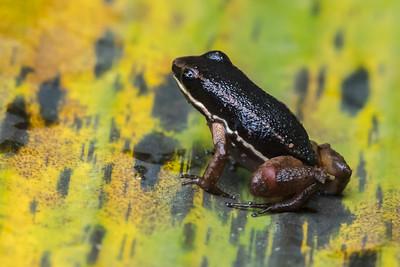 Talamanca rocket frog - Costa Rica.