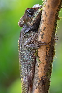 Helmet-headed basilisk lizard - Costa Rica.