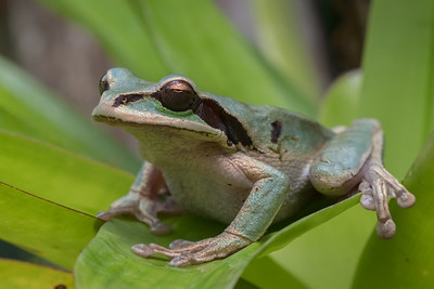 Masked tree frog - Costa Rica.