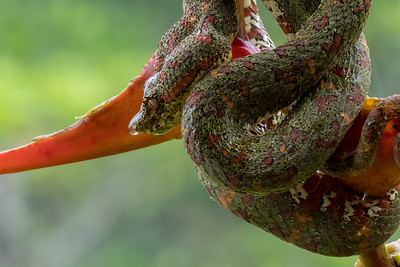 Eyelash pit viper on orange heliconia flower - Costa Rica.