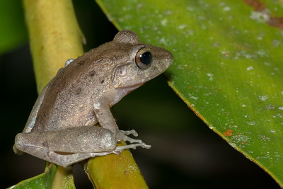 Common rain frog at Crocodile Bay Resort - Costa Rica.