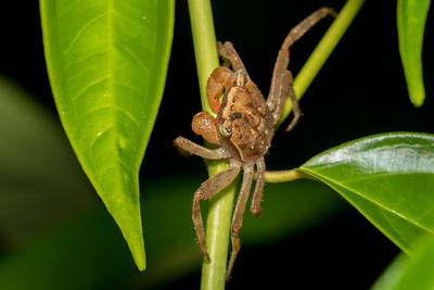 Tree crab at Crocodile Bay Resort - Costa Rica.