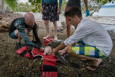 Measuring and tagging a green sea turtle on the shore of the Osa Peninsula, Costa Rica.
