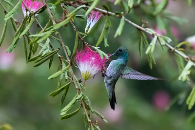 Charming hummingbird on mimosa bush at Crocodile Bay Resort - Costa Rica.
