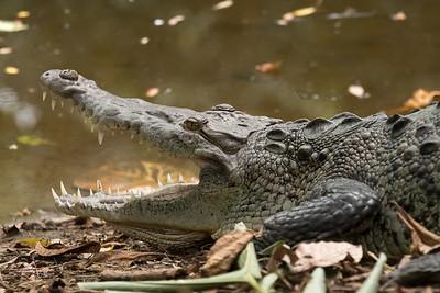 American Crocodile at Crocodile Bay Resort - Costa Rica.
