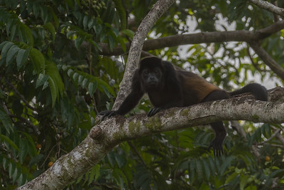 Mantled howler monkey - Crocodile Bay Resort, Costa Rica.