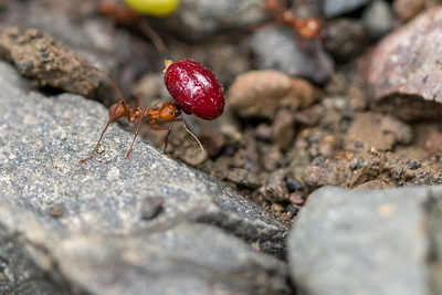 Leaf-cutter ants with berries - Costa Rica.