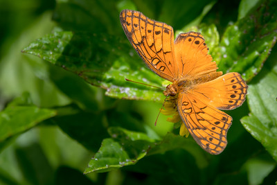 Mariposa butterfly - Costa Rica.
